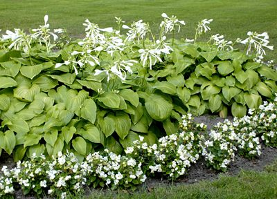 Hosta Plantaginea - Flowers open late in the afternoon, and their fragrance is at its peak in the evening - perfect for enjoying while relaxing in the garden at dusk.