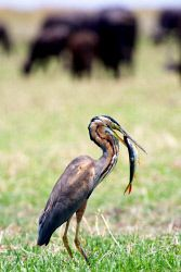 TWA-0001150 © WestPix Purple heron which has caught tigerfish. Buffalo in background of some shots. Seen on a (boat) game drive from Pride of the Zambezi houseboat on the Chobe River. The boat is out of Namibia, but I joined from Kasane, Botswana.