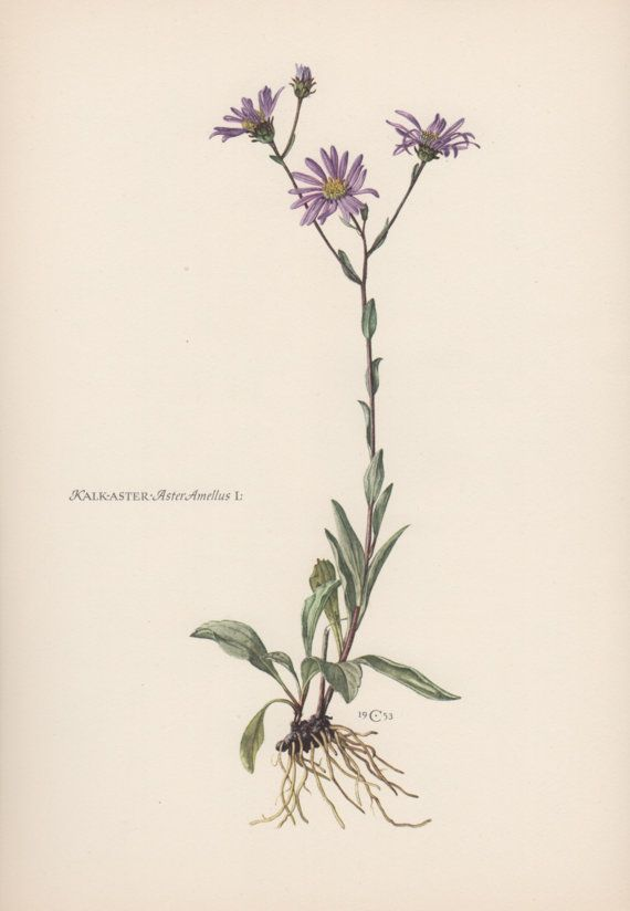 48018fb26 Daisy Aster Flower Drawing | Gardening: Flower and Vegetables