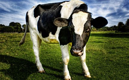 Love cows :) 14 Cool Facts You Never Knew About Cows