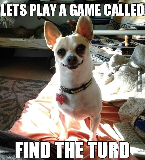 chihuahua meme face 4407 best chihuahuas images on pinterest doggies little 2200