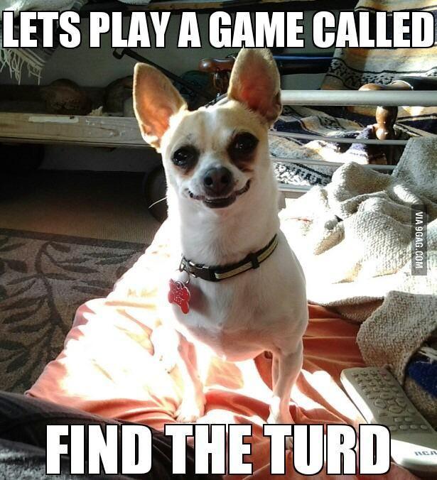 Chihuahuas...every damn morning...