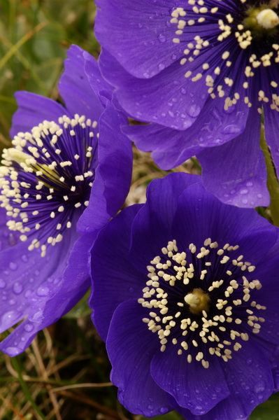 Blue Poppies (Meconopsis Lancifolia)