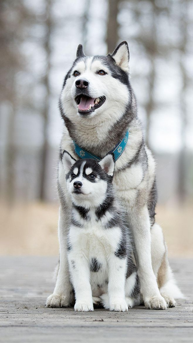 The Big Husky Said To The Little Puppy Don T Be Afraid I