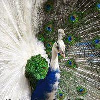 rare Peacock - White Blue Peacock