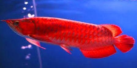 Arwana Asia (Scleropages formosus), atau Siluk Merah adalah salah satu spesies ikan air tawar dari Asia Tenggara. Ikan ini memiliki ...