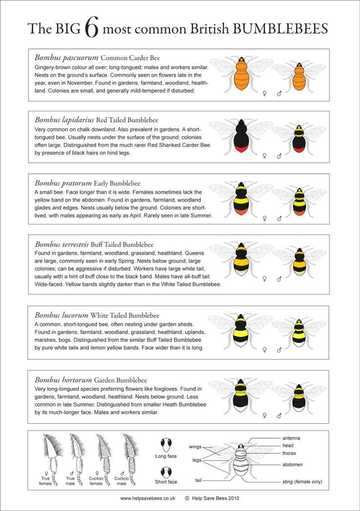 Bumblebee Identification Chart