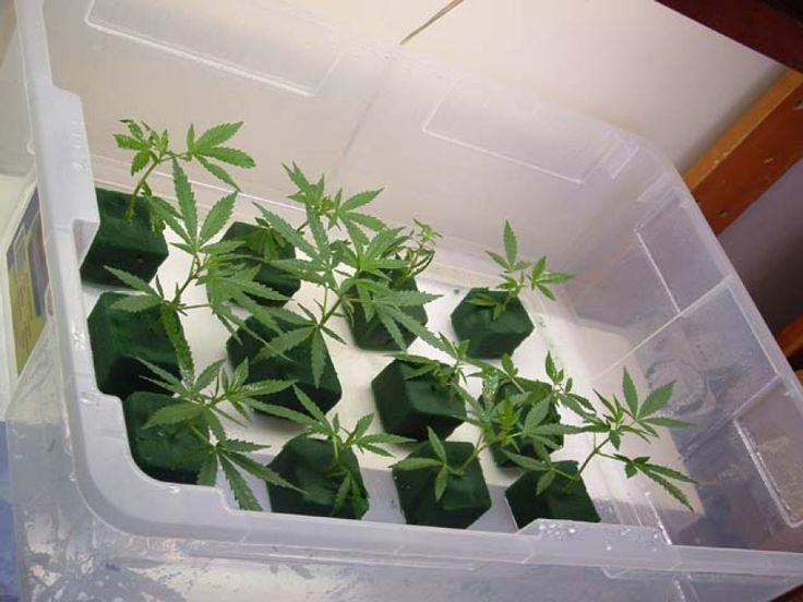 Cómo hacer esquejes de marihuana - http://growlandia.com/marihuana/como-hacer-esquejes-de-marihuana/