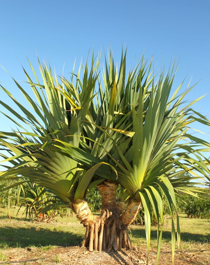 Image result for Pandanus Palm