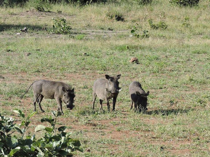 Warthogs in the Chobe National Park, Botswana