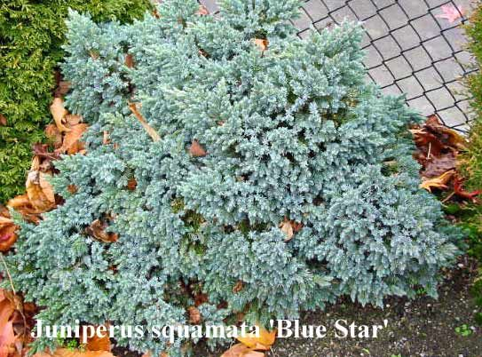 Juniperus squamata 'Blue Star' Juniperus squamata 'Blue Star' A bun shaped shrub, usually growing wider than high. Beautiful steel-blue foliage. In 10 years a size of 30cm x 50cm could be reached.