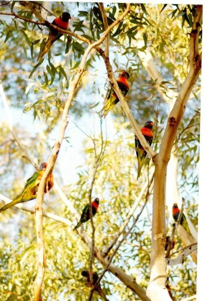 Rainbow Lorikeets in gum tree. A sight I never got tired of seeing when I lived in the land down under.