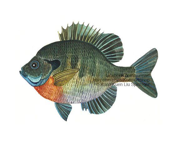 Bluegill Sunfish Art Print Original Freshwater River Fish