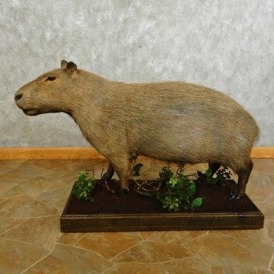 This unique capybara taxidermy mount is for sale and ready for your diorama @thetaxidermystore.com