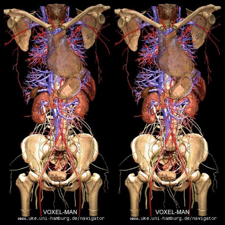 Sistema circolatorio (x