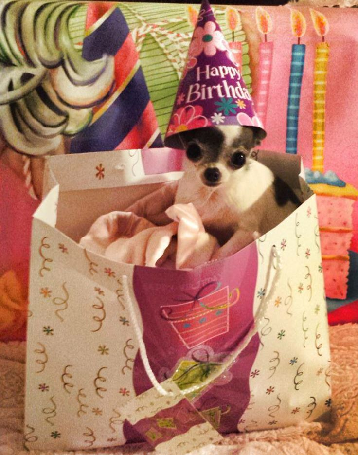 Happy Birthday Cutie - here she is again - Jade, the super beautiful Chi I love!