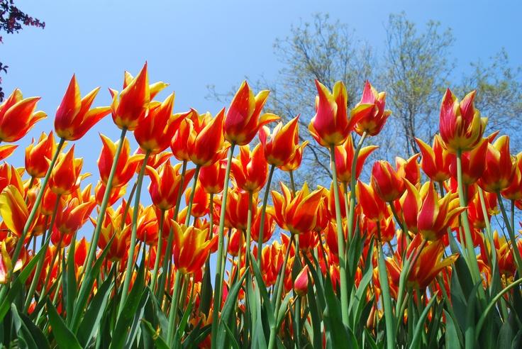 Tulip 13