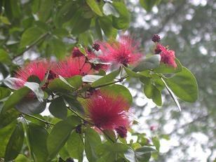 Gumtree - ScV
