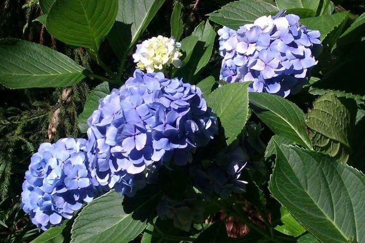 Hortensias en Azores