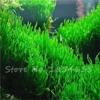 300 Pcs Aquarium Glass,Aquarium Seeds Water Plants Random Aquatic Plant Grass Seeds Indoor For Home Garden Semillas de Plantas