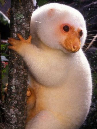 White Cuscus on a tree.  The Cuscus is a marsupial that lives in Australia, New Guinea, and nearby smaller islands.
