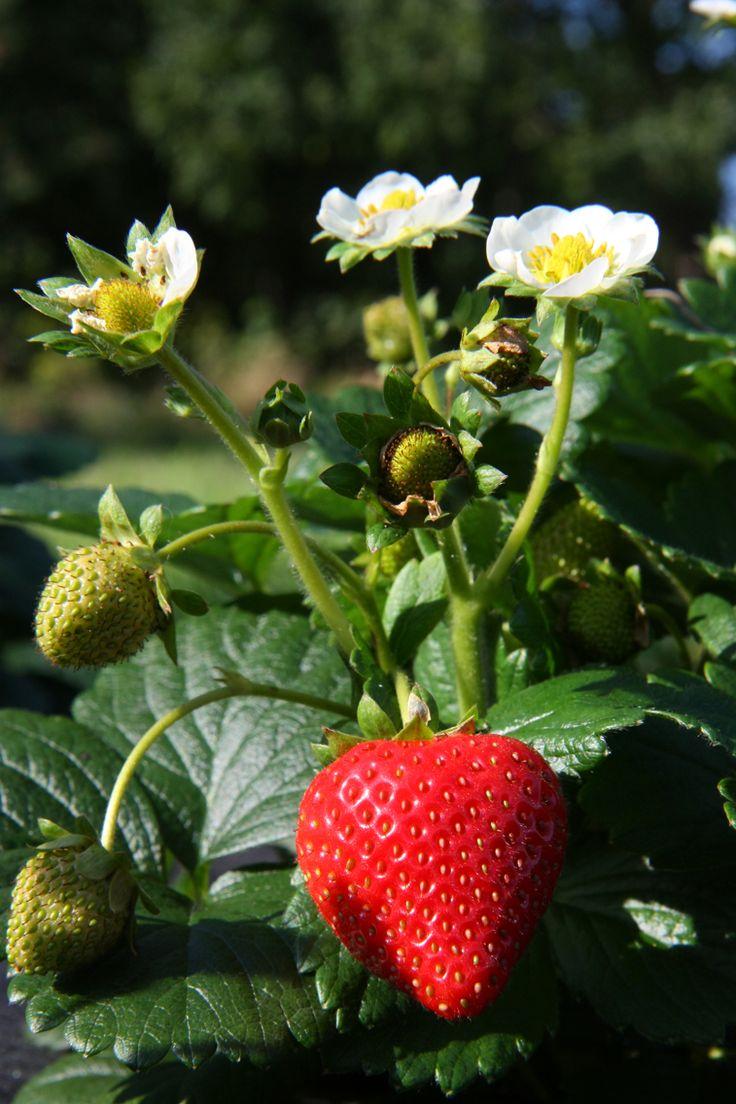 Jordbærplante - morfar