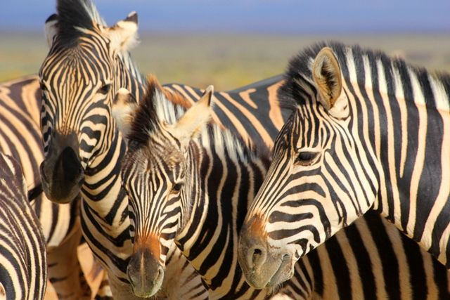 Zebras in the Karoo. © John McIlvaine