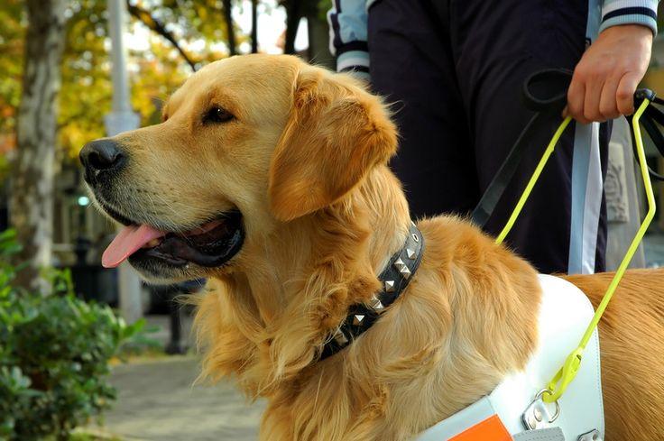 Métiers animaliers : L'éducateur de chiens guides d'aveugles