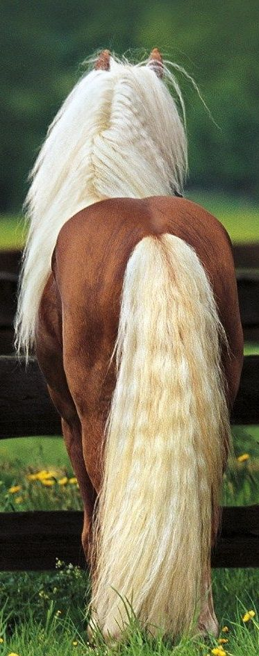 .Haflingers have lots of mane and tail feathers