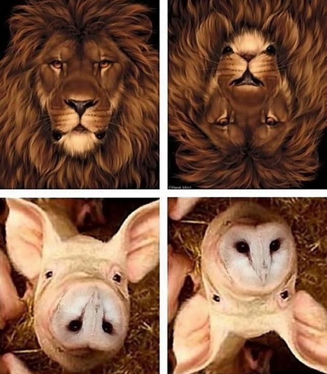 Lion  Pig optical illusions                                                                                                                                                      More
