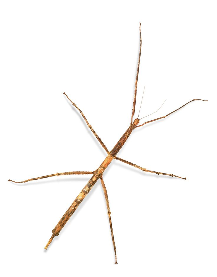 Walking stick anatomy
