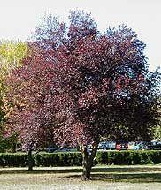 Ciruelo rojo, Cerezo de Pissard, Ciruelo de Japón, Ciruelo japonés, Ciruelo mirobolán, Ciruelo mirobolano, Prunus pisardi, Ciruelo pissardi, Pisardi, Cerezo de jardín. Los hay en el Paseo de Andalucía,tienen las hojas moradas.