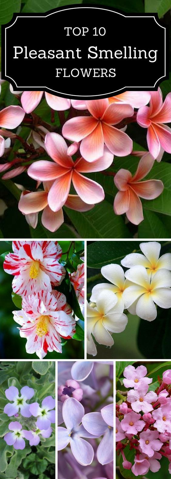 Pleasant smelling flowers for your  garden.