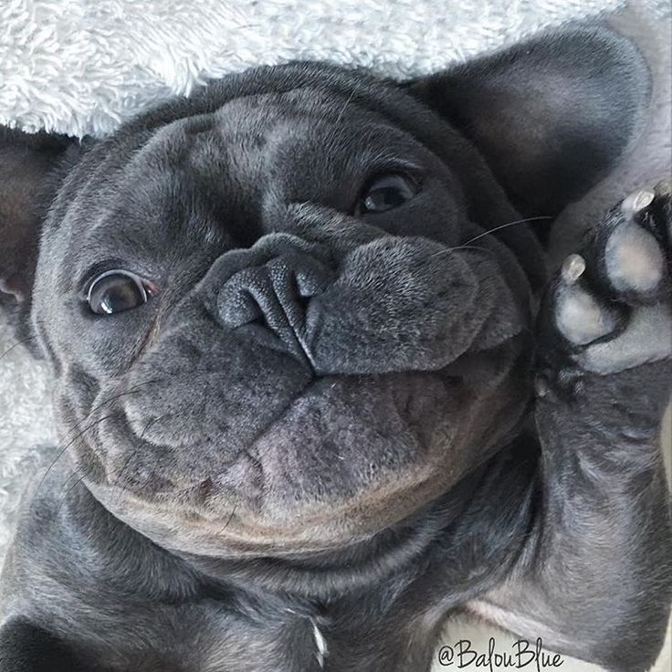 Balou Blue, @baloublue, one of the Top 5 French Bulldog Instagram profiles