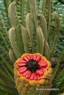 Cycad Encephalartos transvenosus