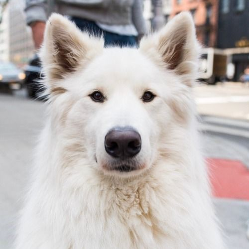 Colby Samoyed 3 Y O 13th 3rd Ave New York Ny He