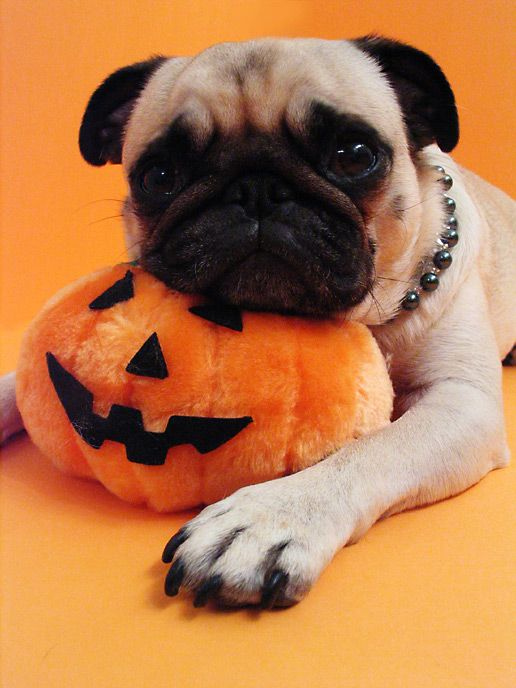 Halloween 2006; more pug on pumpkin!