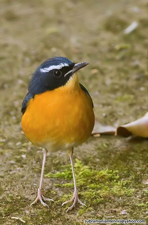 Indian Blue Robin (Luscinia brunnea)