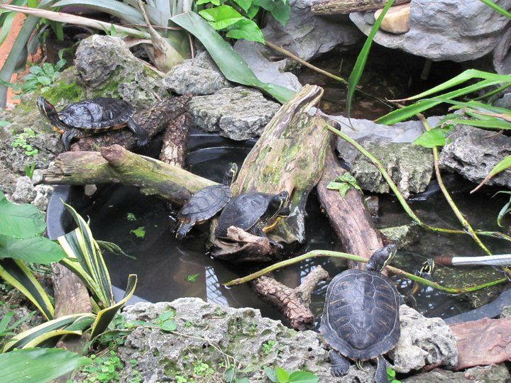 141 best images about tortoises turtles on pinterest for Outdoor fish pond care