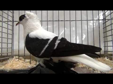 Saxon Fairy Swallow Pigeon Sale Saxon Fairy Swallow Fancy