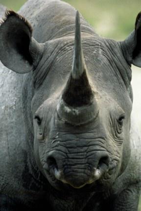 El rinoceronte negro encuentra una 'nueva vida' en el Zoológico de León