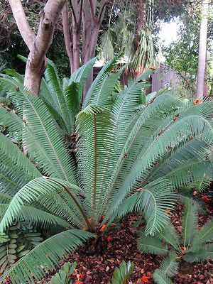 Dioon mejiae COLD HARDY LIVE ICE Blue Cycad Cactus Garden Plant LARGE 5 Gallon