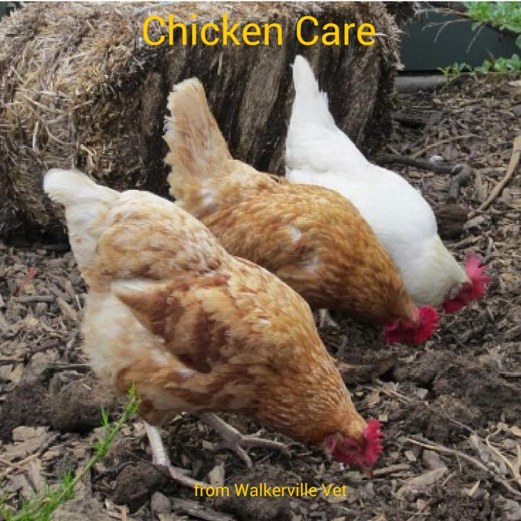 Want to know how to look after chickens? We love our chooks!