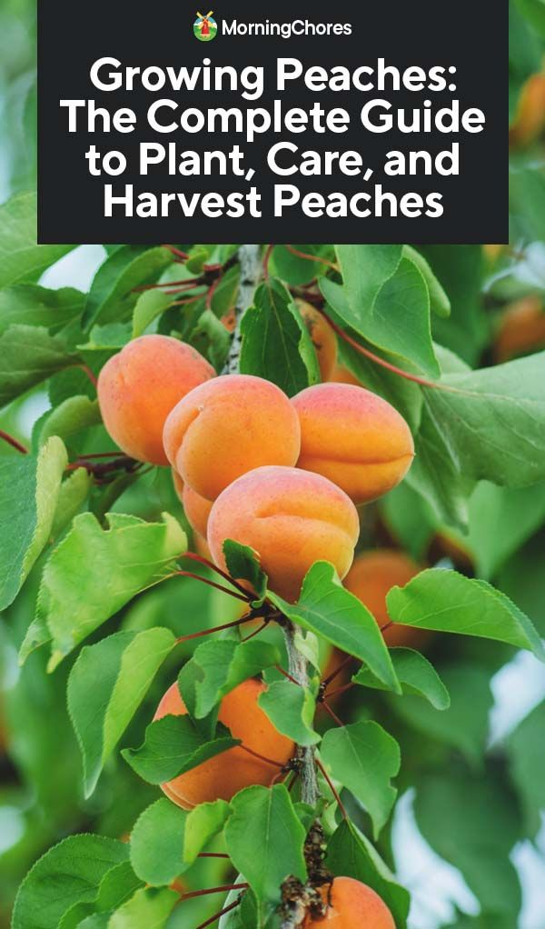 Growing Peaches The Complete Guide To Plant Care And