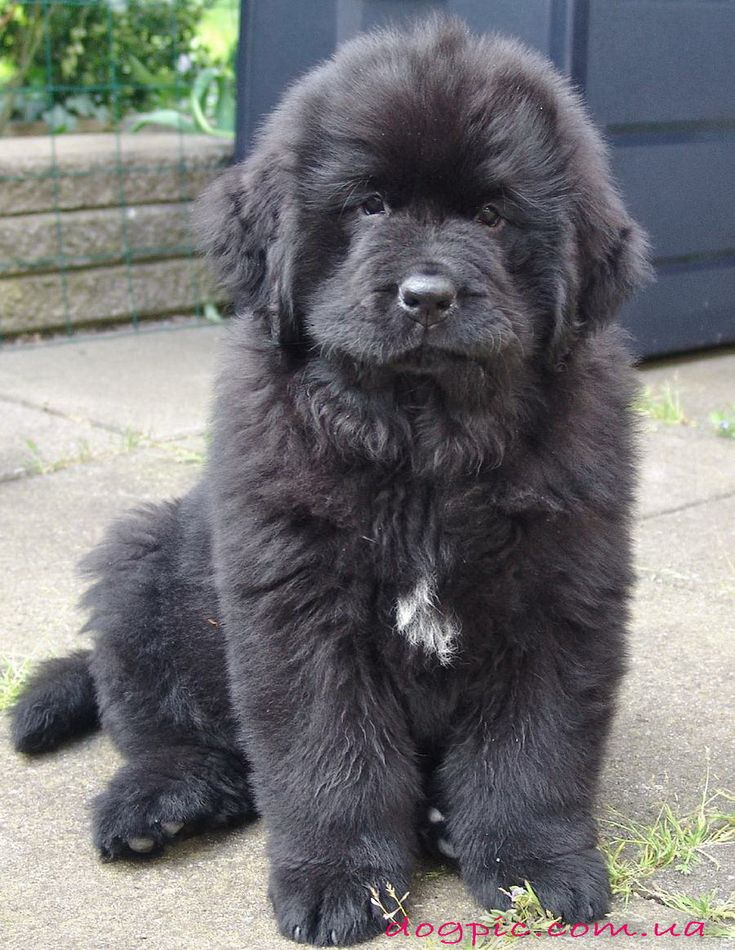 Moscow Water Dog (puppy)