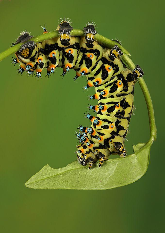 Eupackardia calleta, commonly known as the Calleta silkmoth | Photo by Photographer Igor Siwanowicz - photo.net
