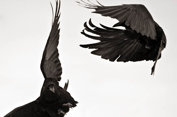 "saemea: ""   Taunting Gravity #4, Bozeman, Montana, by Larry Blackwood ""Crows and ravens are both revered and reviled. They are one of the few avian species to thrive in the presence of man, using intelligence and adaptability to survive. Their feats..."