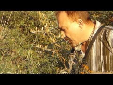 La cules de catina pe malul raului Buzau