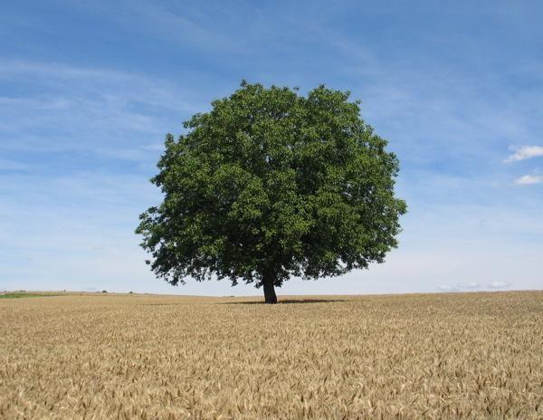 walnotenboom in graanveld