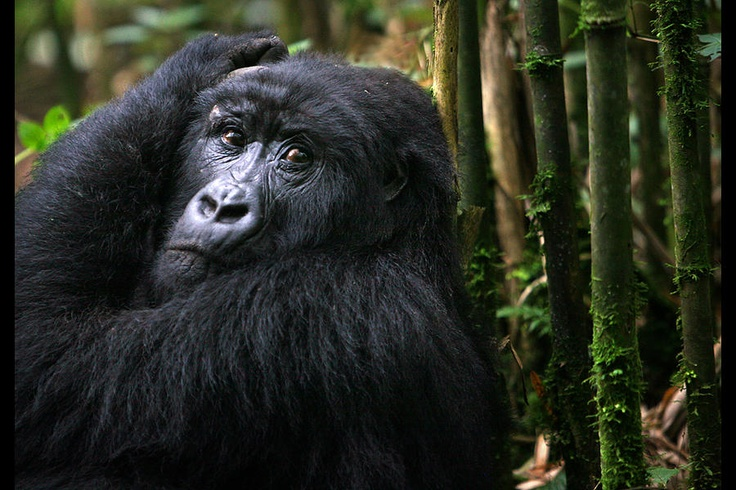 Image 4/14: A female gorilla rests against a stand of bamboo. Only about 700 mountain gorillas are left in the world, and they all live in a small area in Rwanda, Uganda, and Congo. Five gorilla groups in the park get visits from tourists for a maximum of one hour a day. Melanie Stetson Freeman/Staff Endangered animals - The Christian Science Monitor - CSMonitor.com